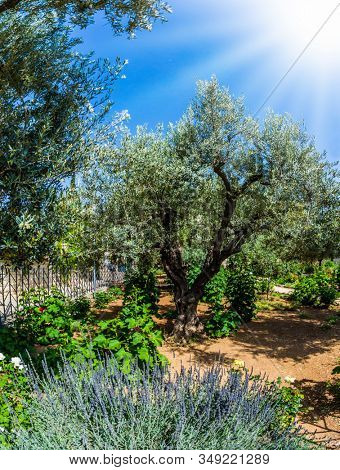 The ancient Garden of Gethsemane in holy Jerusalem. Branched olive trees under the hot autumn sun. In Gethsemane grow very ancient olives. The concept of historical, religious and ethnographic tourism