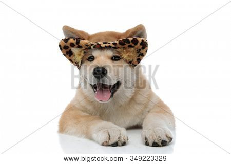 Clumsy Akita Inu sticking out his tongue and looking forward while wearing a headband with feline ears, laying down on white studio background