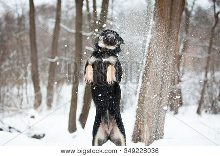 Cadebo Dog Frolics In The Winter In The Snow, Stands On Its Hind Legs, Jumps, Plays