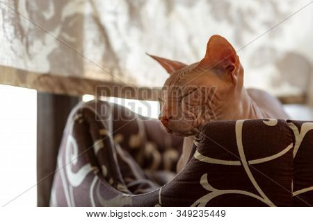 Cat Of Breed The Sphinx Closeup. Sphynx Cat. Pink Sphinx. Hairless Cat. Photo Of A Pet. The Cat Is R