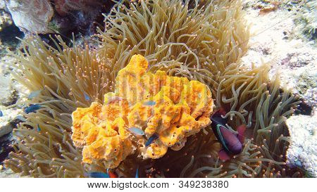 Clown Anemonefish And Anemone On Coral Reef. Underwater World With Corals And Tropical Fishes