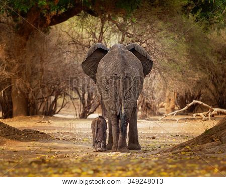 African Bush Elephant - Loxodonta Africana Small Baby Elephant With Its Mother, Walking And Eating L