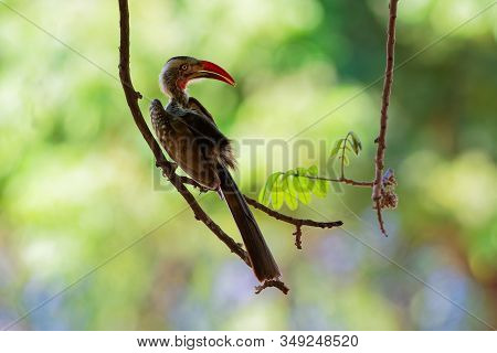 Southern Red-billed Hornbill - Tockus Erythrorhynchus Rufirostris  Family Bucerotidae, Which Is Nati