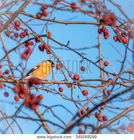 Bullfinch Sits On A Branch And Eats Small Red Apples. Bullfinch Bird Eats Berry On A Tree Branch. Bu