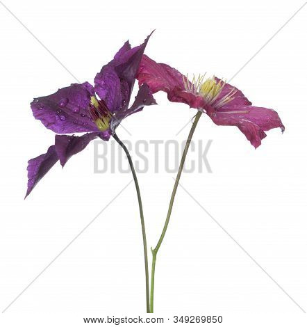 Two Purple Clematis Flowers Isolated On White