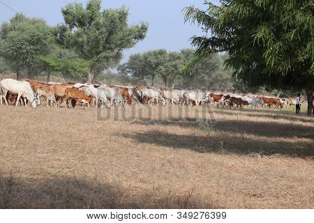 Black Cows, Red Cows And White Cows In A Dry Grassy Field On A Bright And Sunny Day In The India, Ou