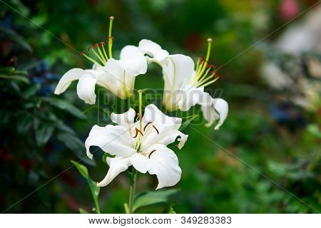 Three White Lilies Blooming In The Garden