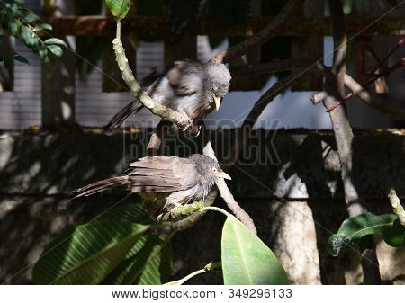 Two Drenched Indian Jungle Babblers In Rain Drizzle On A Sunny Day Sunbathing On Branch If A Tree In