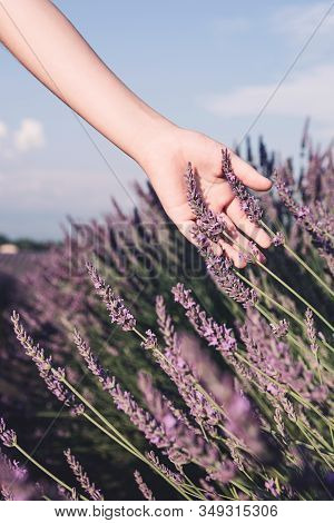 Lavender Fields Near Valensole In Provence, France. Blooming Lavender In The Summer..children's Hand