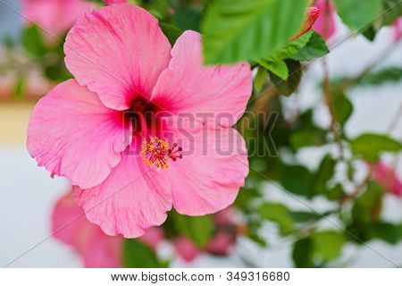 Tender Macro Shoot Of Pink Hibiscus Flowers. Shallow Depth Of Field.