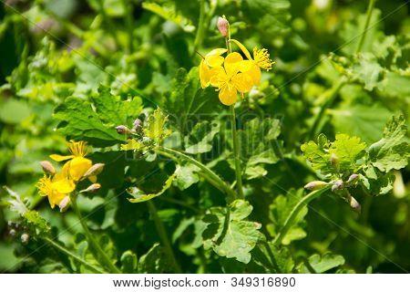 Yellow Flower Of Celandine (chelidonium Majus) On Meadow