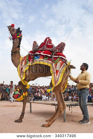 Bikaner, India - January 12, 2019: Dromedary Camel Dancing During Annual Camel Festival In Rajasthan
