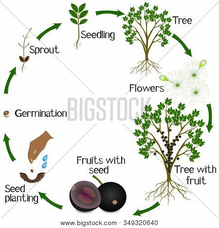 A Growth Cycle Of Jaboticaba Brazilian Grape Plant On A White Background.