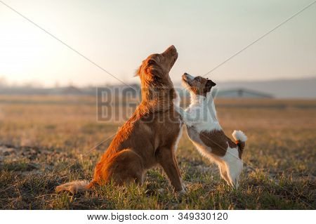 Two Dogs Small And Large Are Playing On The Field. Nova Scotia Duck Tolling Retriever And A Jack Rus
