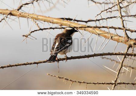 White Browed Sparrow Weaver, Plocepasser Mahali, On A Branch