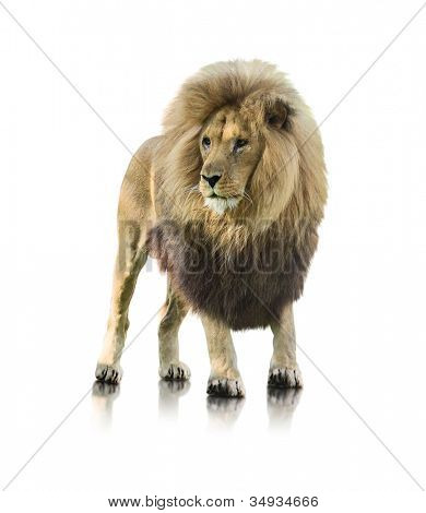 Portrait Of A Lion Standing On White Background