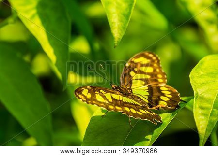 Malachite Butterfly With Open Wings In Macro Closeup, Colorful Tropical Insect Specie From America
