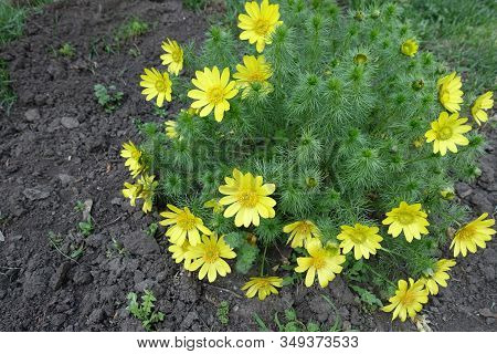 A Lot Of Yellow Flowers Of Adonis Vernalis In April
