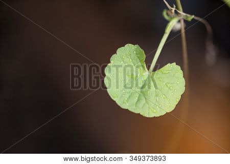 Close Up Herbal Thankuni Leaves ,centella Asiatica,gotu Kola