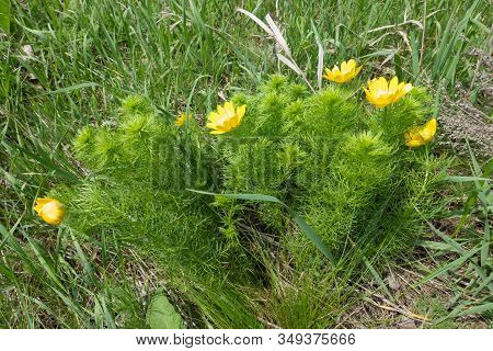 Side View Of Flowering Adonis Vernalis In May