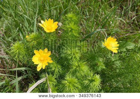 Three Bright Yellow Flowers Of Adonis Vernalis In May