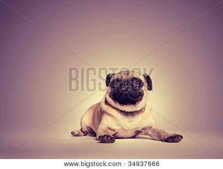 Studio portrait of a pug lying on the floor with a toned background with highlight around the dog