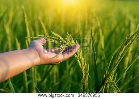 The Farmer's Hand Touches The Rice Fields In Warm Sunlight. The Concept Of Growing Non-toxic Plants.