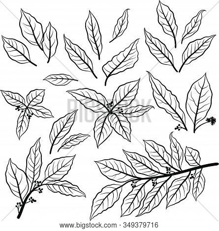Set Of Plant Pictograms, Laurel Bay Leaf, Black Contours On White. Vector