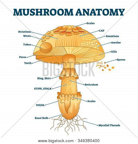 Mushroom Anatomy Labeled Biology Diagram Vector Illustration. Forest Nature Exploring And Education.