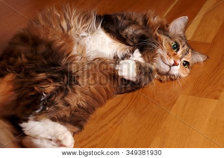 Cat, A Long-haired Cat With Green Eyes. The Cat Lies On A Wooden Floor. Domestic Cat. Beautiful Old