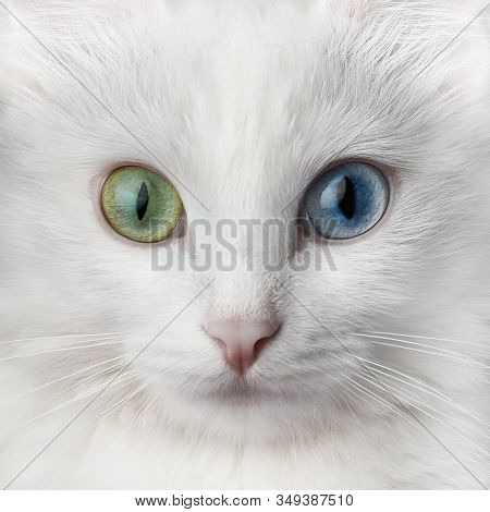 White Cat With Multi-colored Eyes, Unusual. Turkish Angora With Different Colored Eyes.
