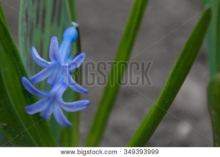 Purple Lilac Blue Hyacinth Flower Closeup Grows In A Garden Park. Tender Beautiful First Spring Flow