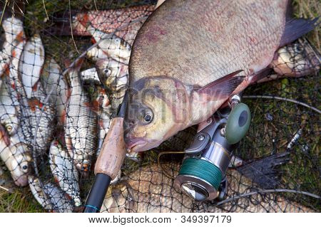 Successful Fishing -  Big Freshwater Bream Fish And Fishing Rod With Reel On Keepnet With Fishery Ca