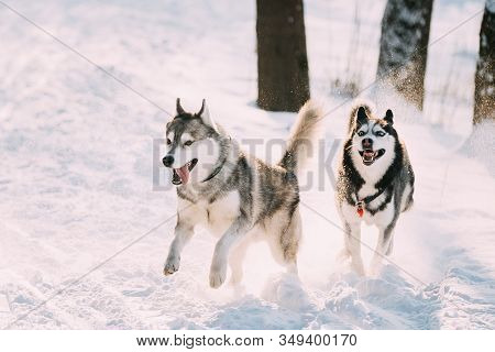 Two Funny Happy Siberian Husky Dogs Running Together Outdoor In Snowy Park At Sunny Winter Day. Smil