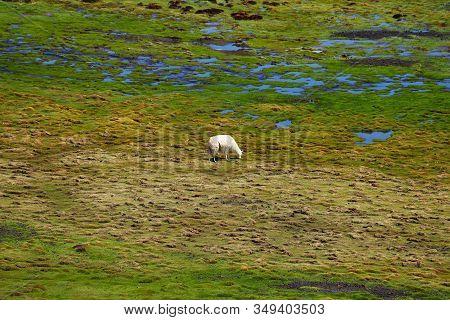 A Llama Grazing Grass In Laguna Negra In The Bolivian Plateau. Landscape Of The Bolivian Highlands.