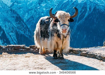 Saddled Domestic Yak In Caucasian Mountains At Sunny Day