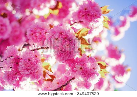 Spring Border Background With Pink Blossom. Cherry Blossom. Branch Delicate Spring Flowers. Sacura C