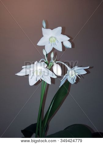 Eucharis - Amazonian Lily Flowers Of A Bulbous Plant. Blooming With White Flowers, Amazonian Lily Is