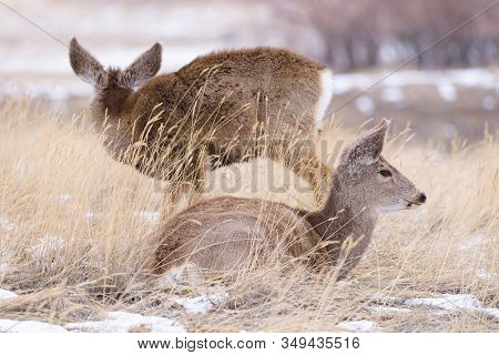 Mule Deer Doe In Tall Winter Grass And Snow. Wildlife Of Colorado. Wild Deer In Their Natural Enviro