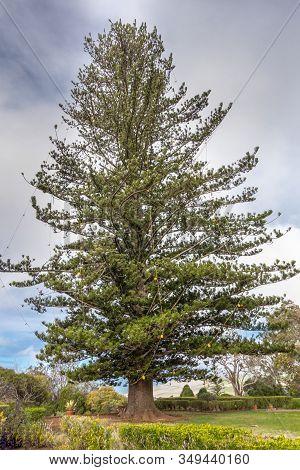Waimea, Hawaii, Usa. - January 15, 2020: Parker Ranch Headquarters. Giant Green Pine With Light Bulb