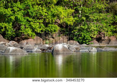 Smooth Coated Otter Family Playing On Rocks At Ramganga River. Nature Canvas Painting Of Mirror Imag