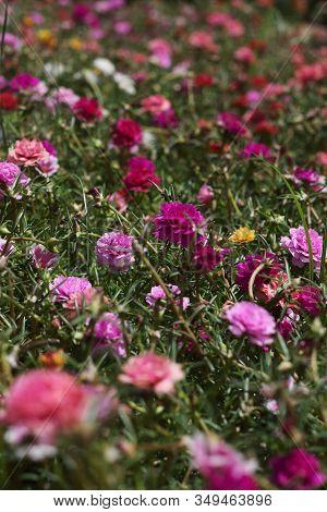 Many Colorful Portulaca Grandiflora Flowers Close Up