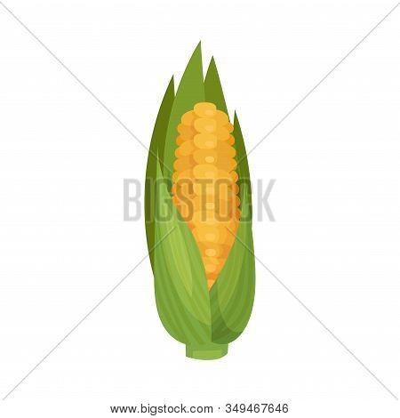 Ripe Corn Cob Isolated On White Background Vector Illustration. Organic Food For Cooking