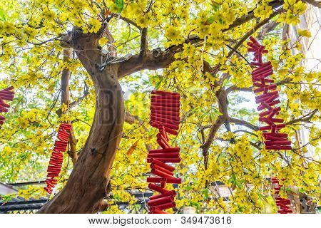 Firecrackers Hanging On Blooming Apricot Blossom Tree In Tet Holiday