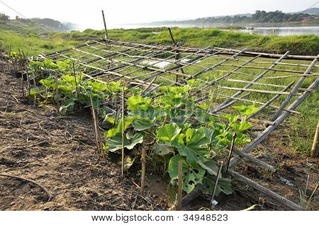 Chayote Plot Farm Seedling Vegetable Outdoor