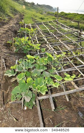 Chayote Plot Farm Vegetable Seedling Outdoor