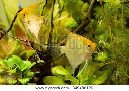 Pterophyllum Scalare In Aqarium Water, Yellow Angelfish Background