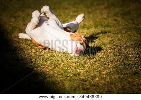 Beagle Wallow And Roll On Grass. Dog Has Relaxation Time Lying Down On Green Grass In Sun. Hound Bac
