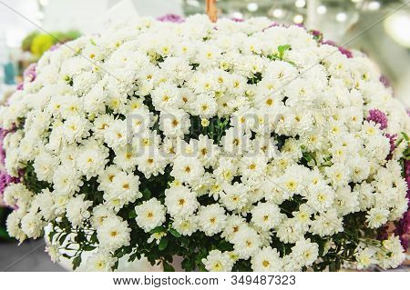 Beautiful White Chrysanthemums As A Background Picture. Wallpaper With Chrysanthemums, Chrysanthemum