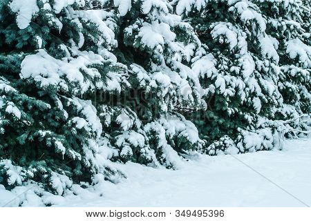 Firtrees Covered With Snow Growing In Rows. Winter Landscape. The Photo Can Be Used For Weather Fore